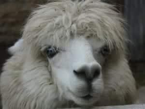 alpaca-64137_1280